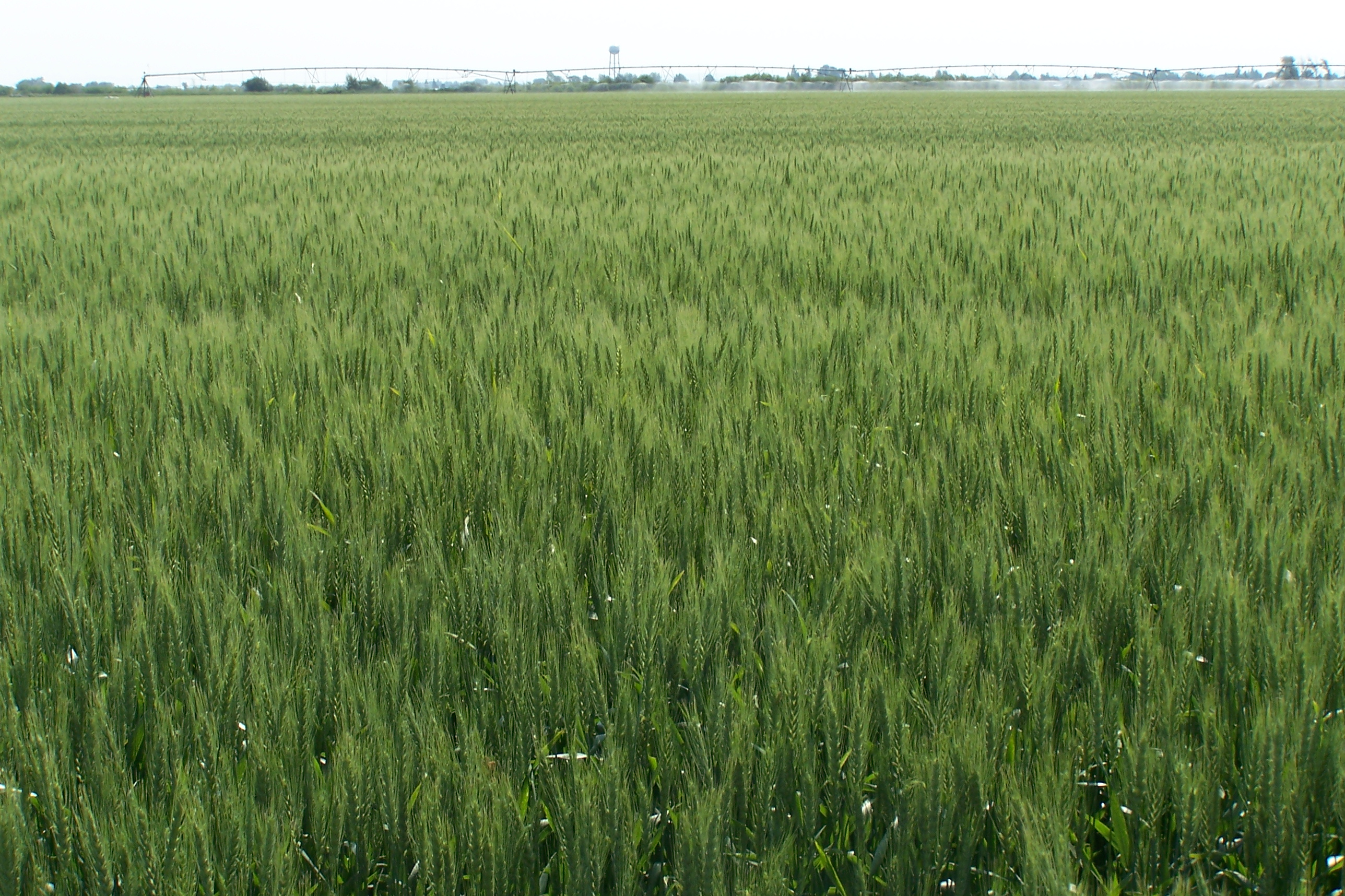 Agronomic image of spring wheat
