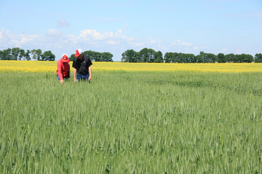 Agronomic image of a wheat field