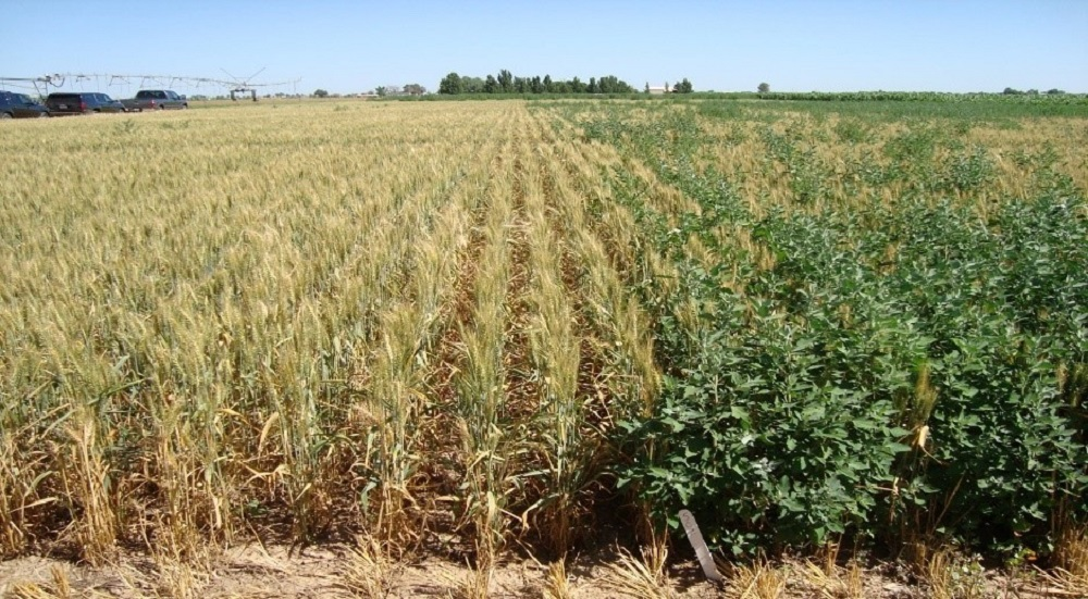 Agronomic image of wheat fields and herbicide resistance