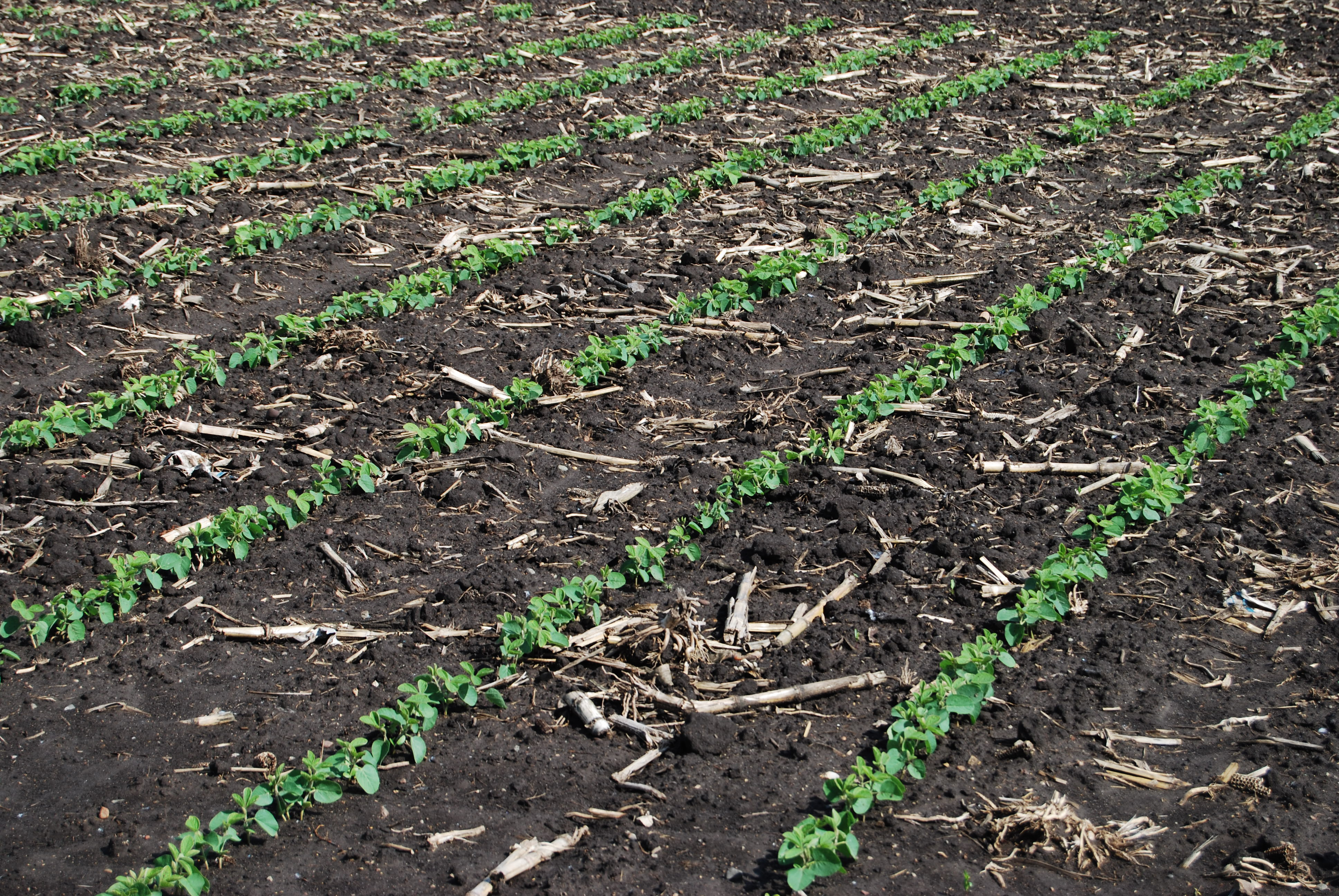 An agronomic photo showing soybean plants.