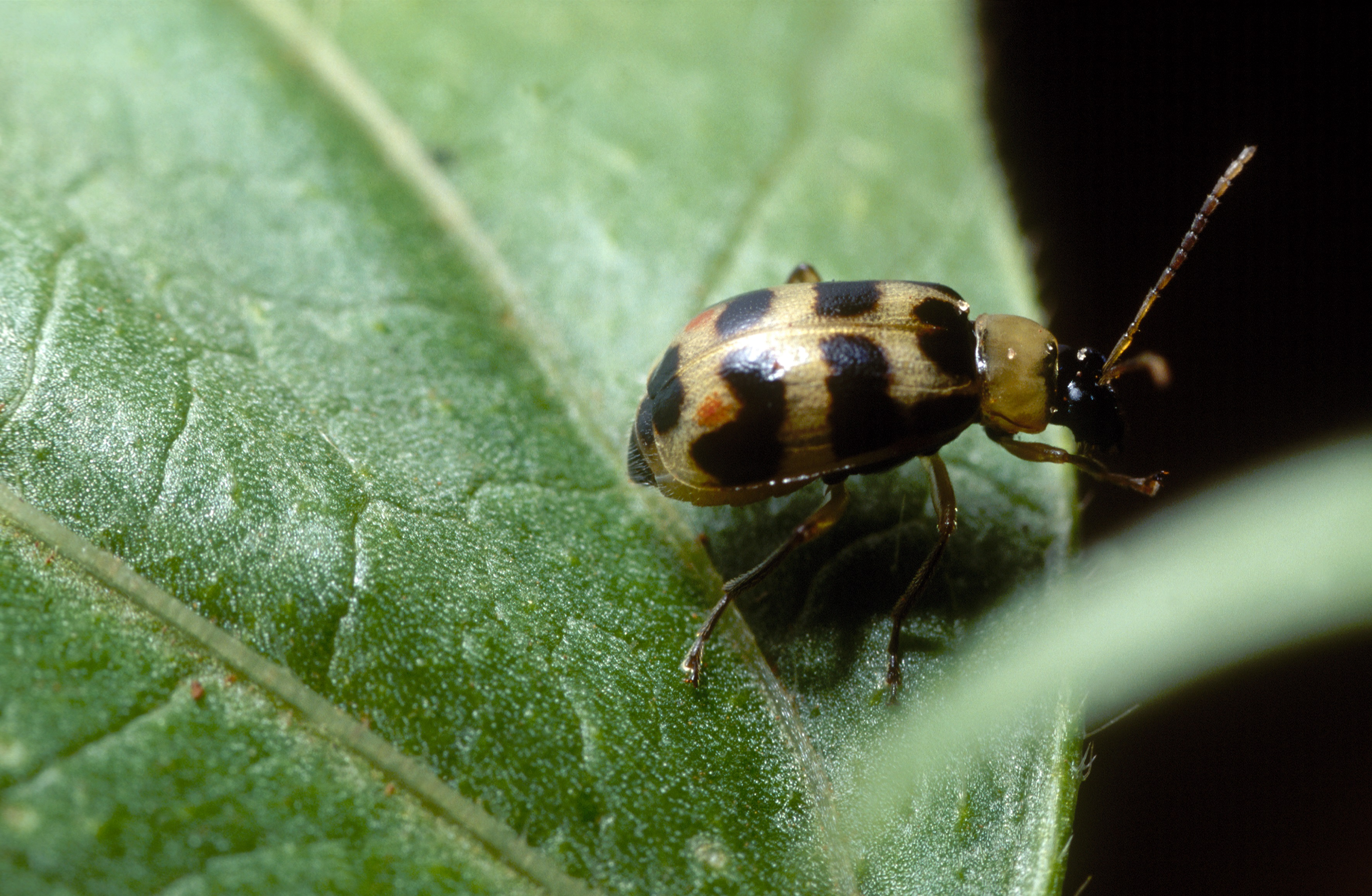 This agronomic image shows a bean leaf beetle.