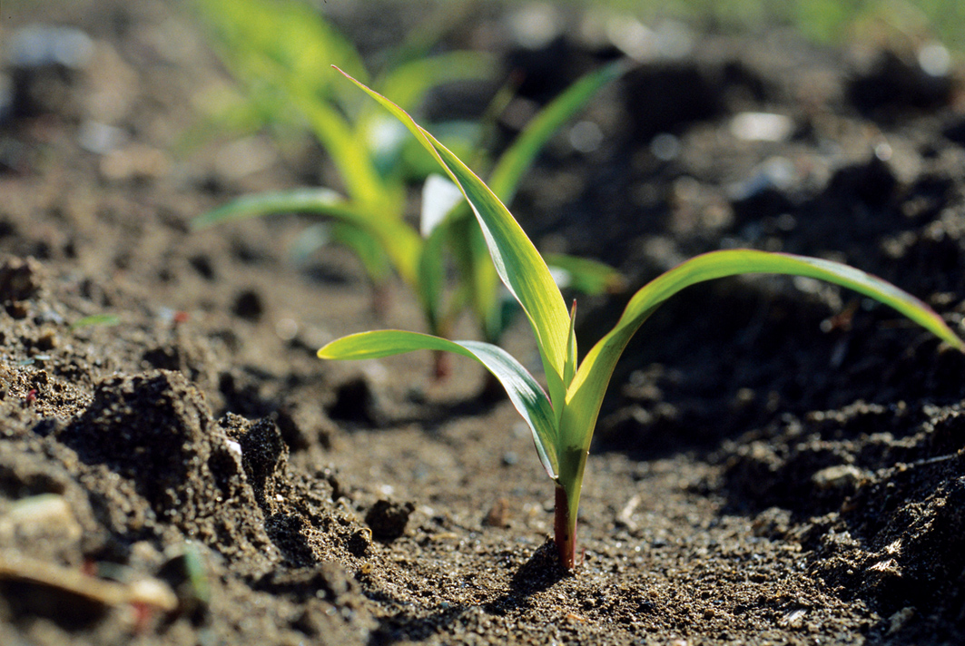 An agronomic image with corn seedlings begining to sprout.