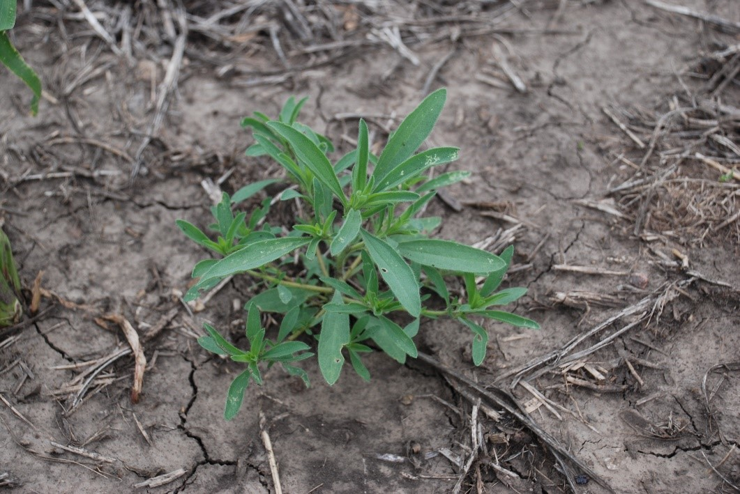 This agronomic photo shows a kochia weed.