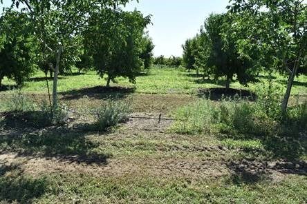 This agronomic image shows a walnut field with a reduced amount of weeds from using Broadworks herbicide.