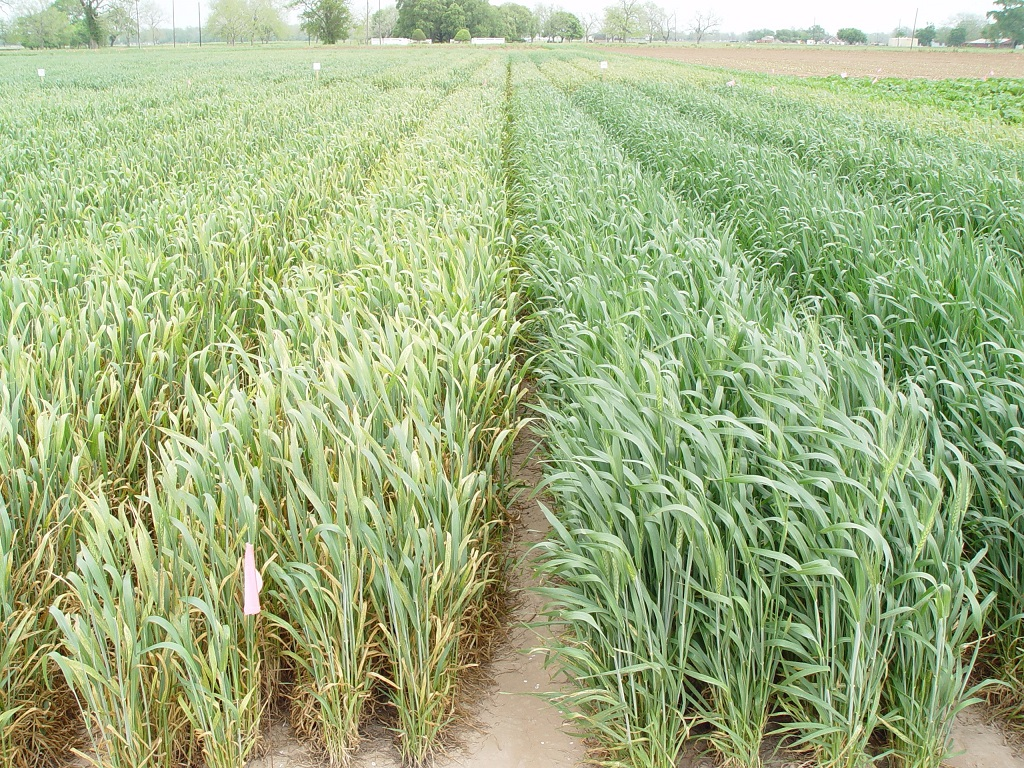 This agronomic image shows trial treatment of stripe rust and leaf rust on winter wheat.