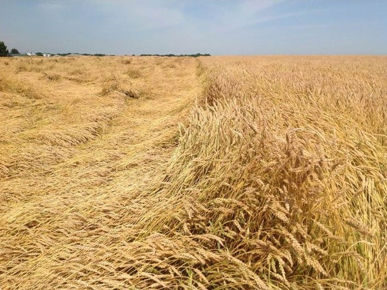 This agronomic image shows toppled wheat.