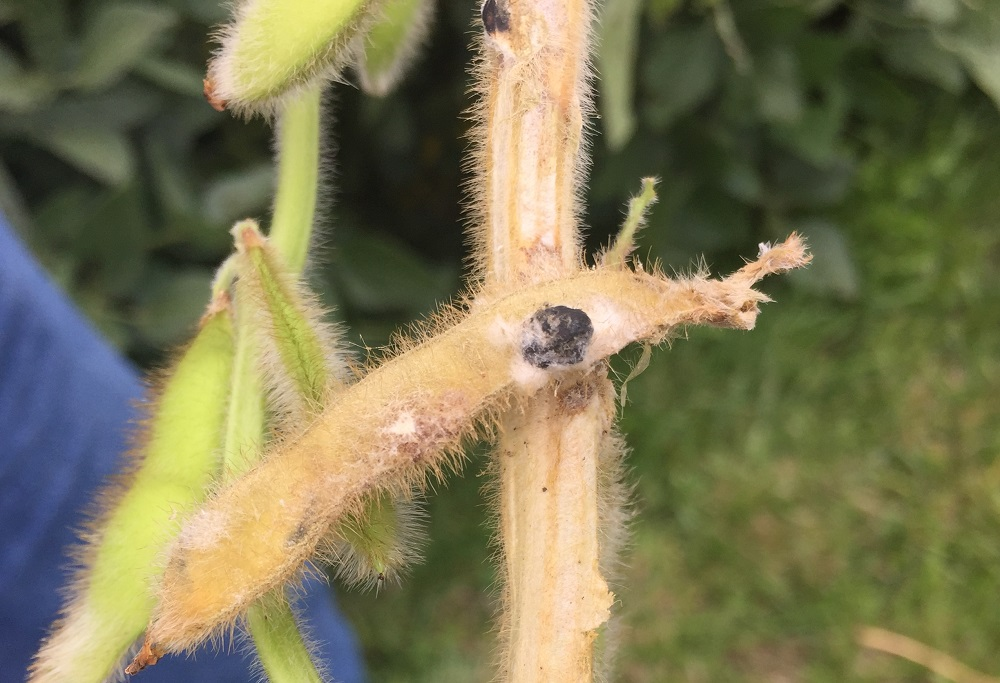 This agronomic image shows white mold on soybeans.