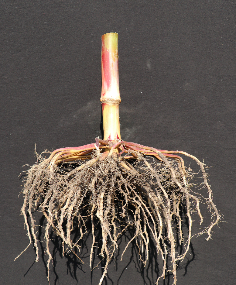 This agronomic image shows a corn plant's root system.