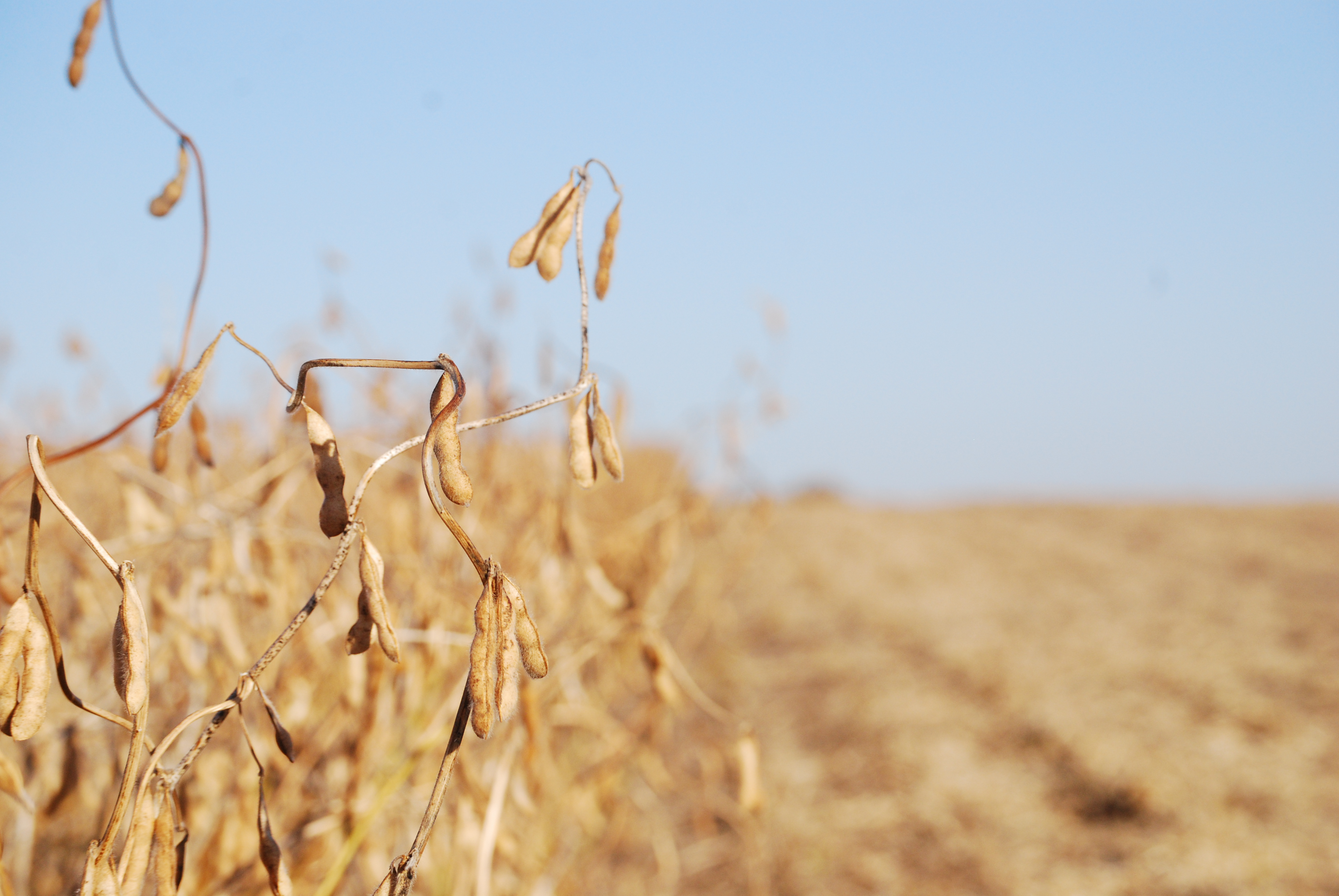 This agronomic image shows soybeans ready for harvest.