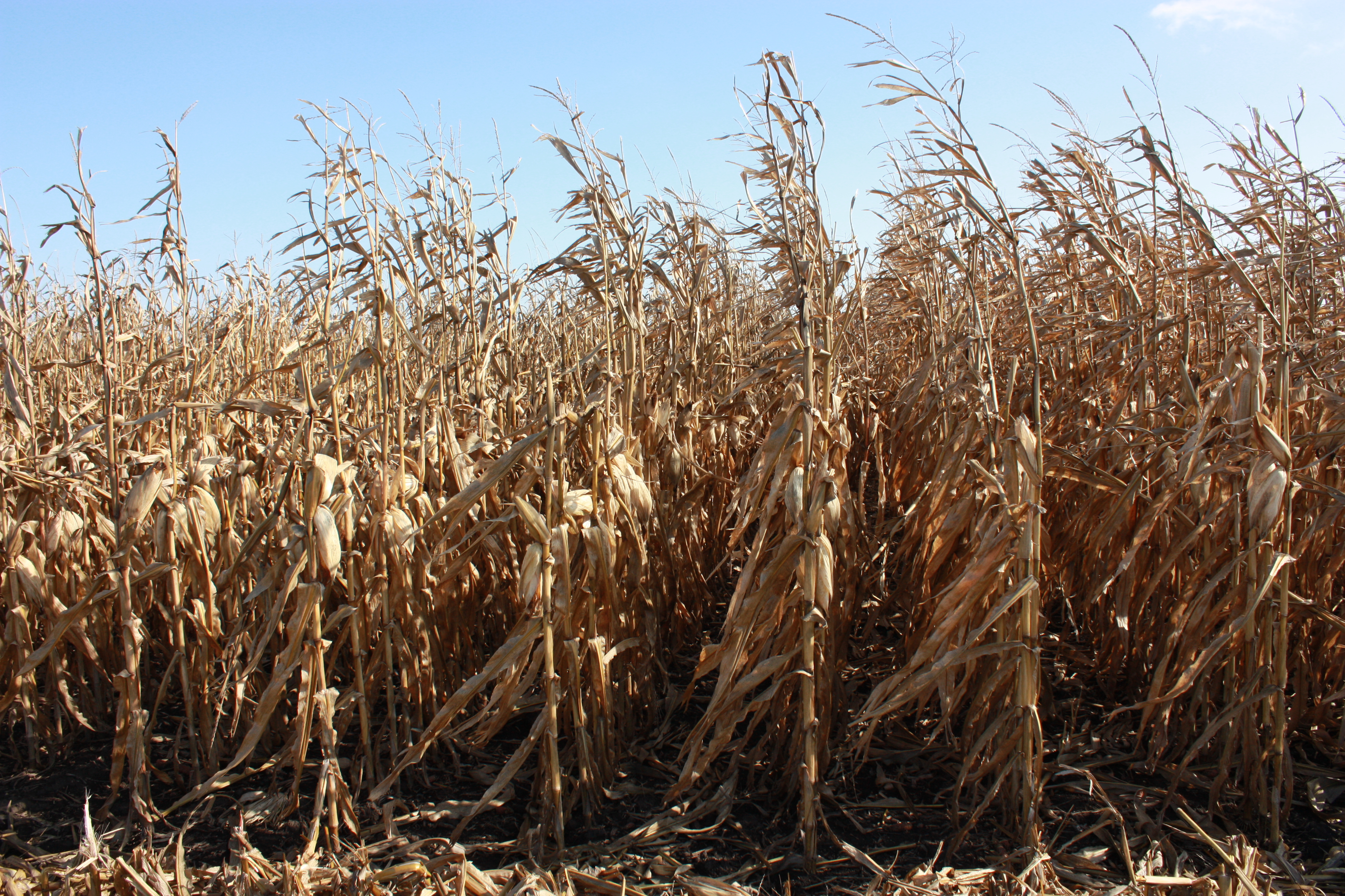 This agronomic image shows corn rows ready for harvest.
