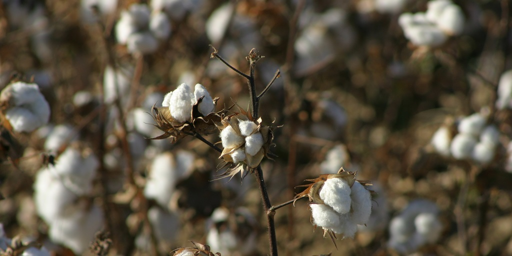 This agronomic image shows healthy cotton