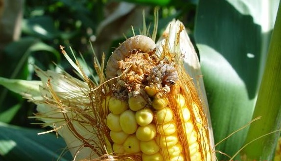 This agronomic image shows Western bean cutworm damage in corn.