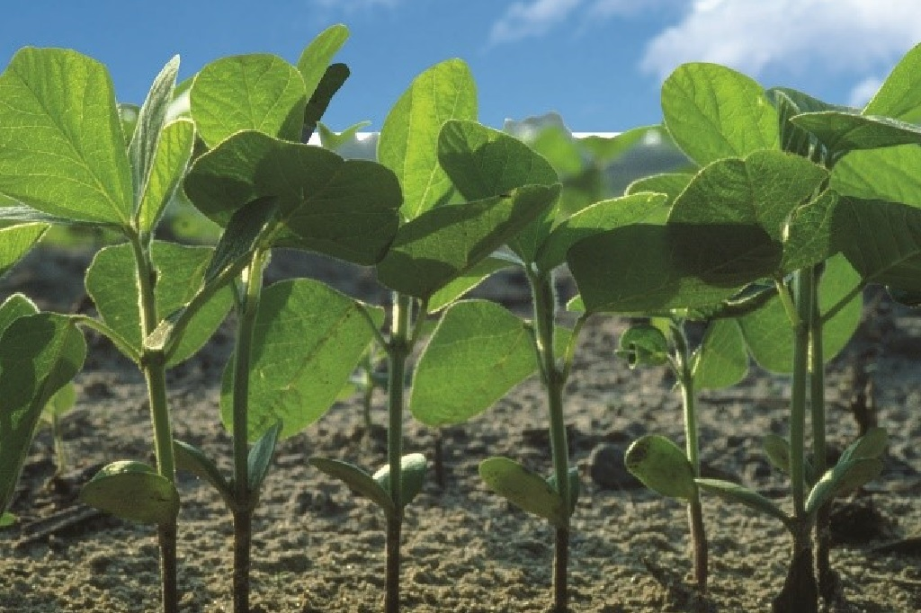 This agronomic image shows soybean seedlings.