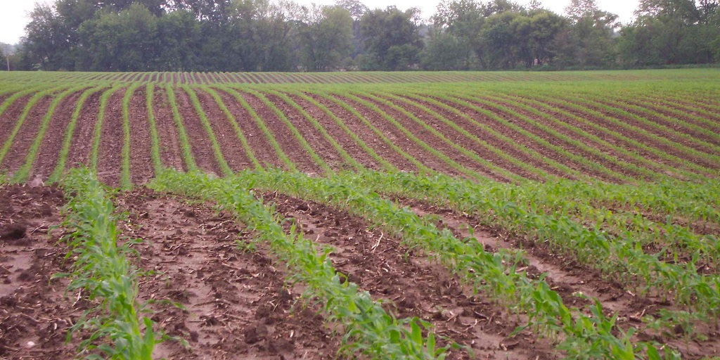 This agronomic image shows rows of young corn.