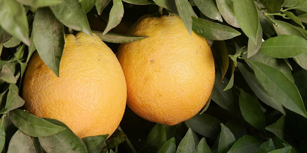 This agronomic image shows oranges.