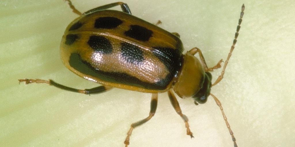 Adult bean leaf beetle