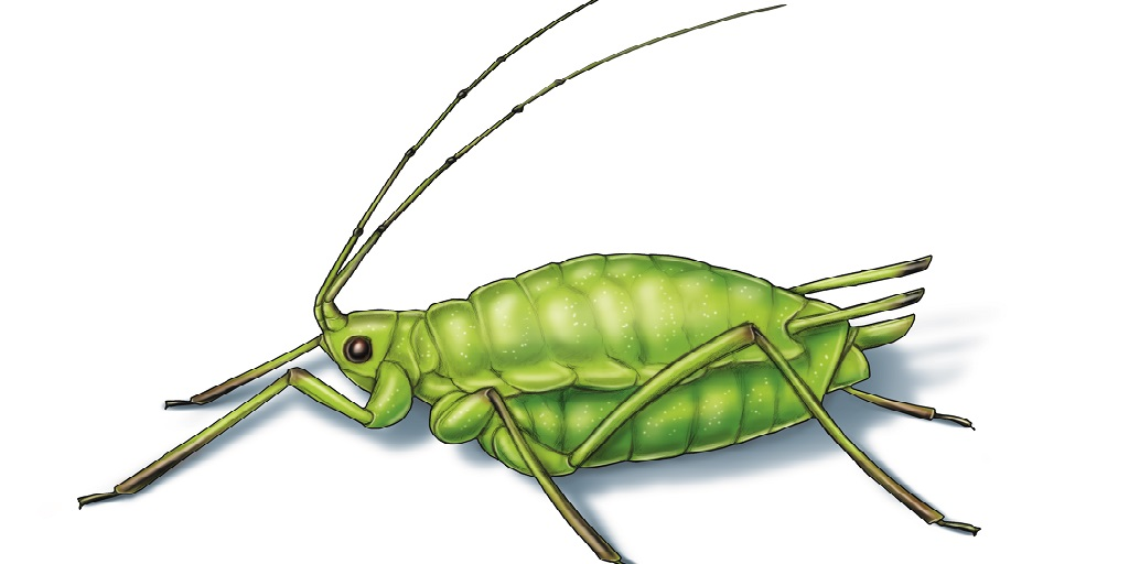 This illustrated image shows a green peach aphid.
