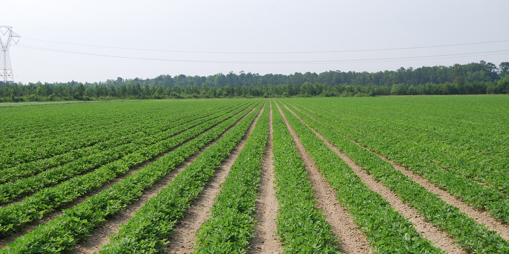 This agronomic image shows a peanut field.