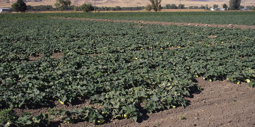 This agronomic image shows a cucumber field.
