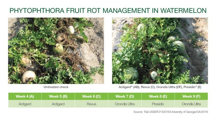 This chart shows phytophthora fruit rot management in watermelons.