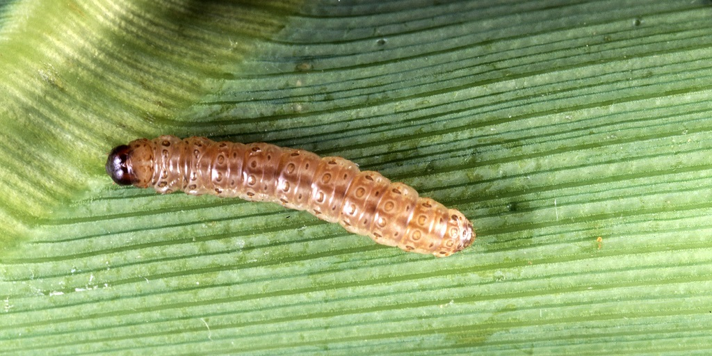 This agronomic image shows a southwestern corn borer.