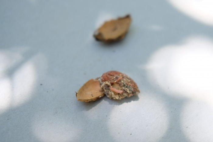 This agronomic image shows Navel orangeworm spotted in almond mummies in Hickman.