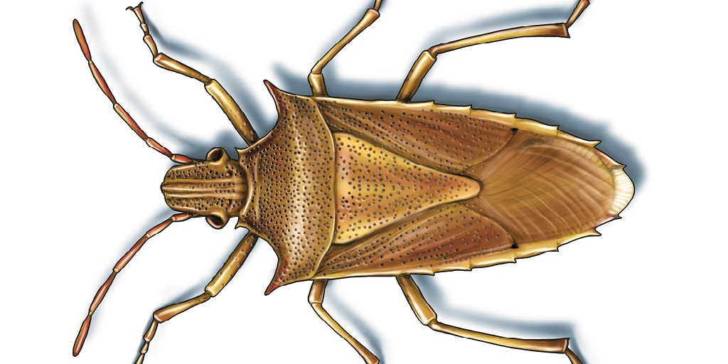 This illustrated image shows rice stinkbugs