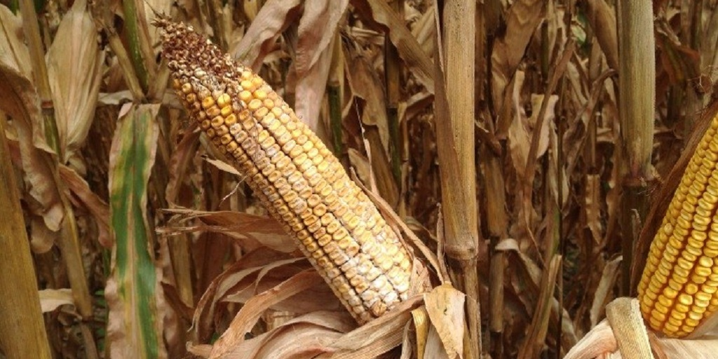 This agronomic image shows corn ear rot