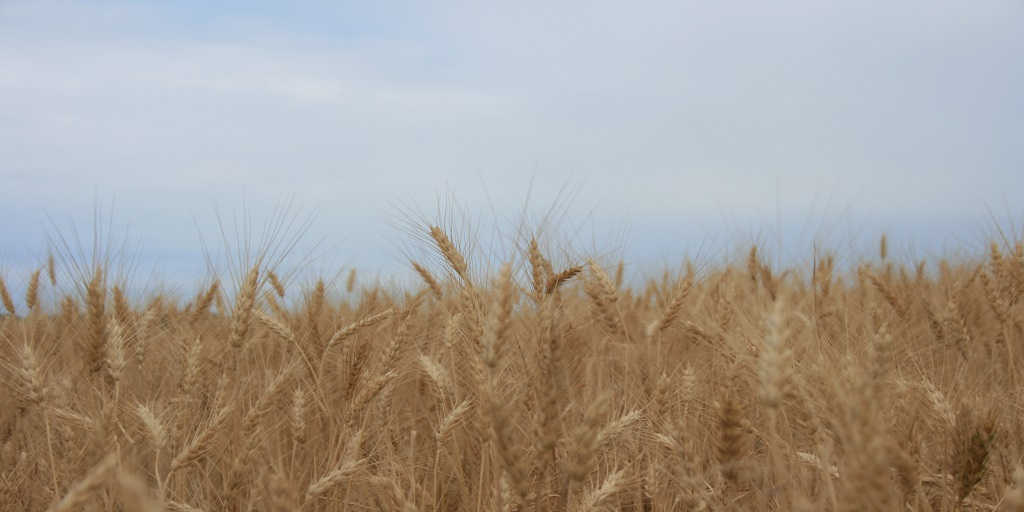 This agronomic image shows winter wheat.