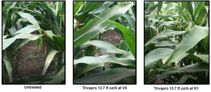 This agronomic image shows the comparison between Trivapro and untreated corn leaves.