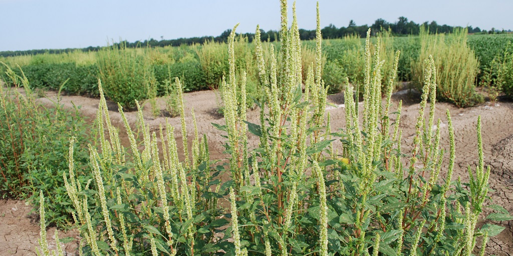 This agronomic image shows pigweed escapes in soybeans.