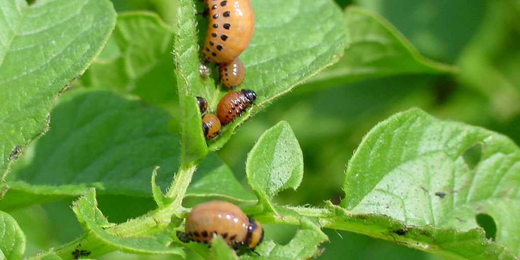 this agronomic image shows a mature potato beetle.