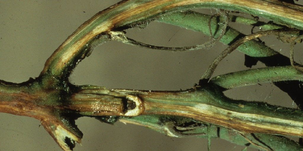This agronomic image shows Fusarium wilt management on tomato roots