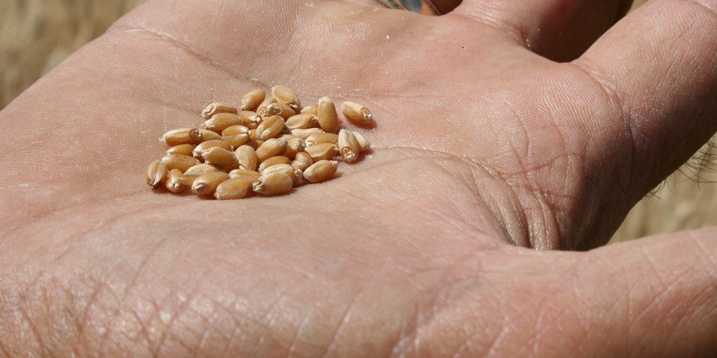 This agronomic image shows certified seed.
