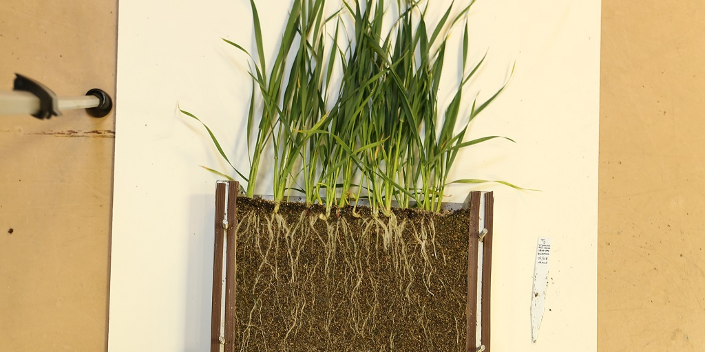 This agronomic image shows Healthy root systems and vigorous plants as a result of Syngenta seed treatment