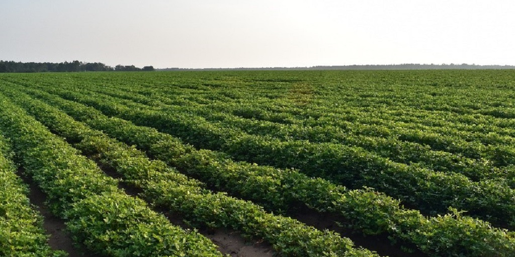 This agronomic image shows peanut trials in Leary, GA