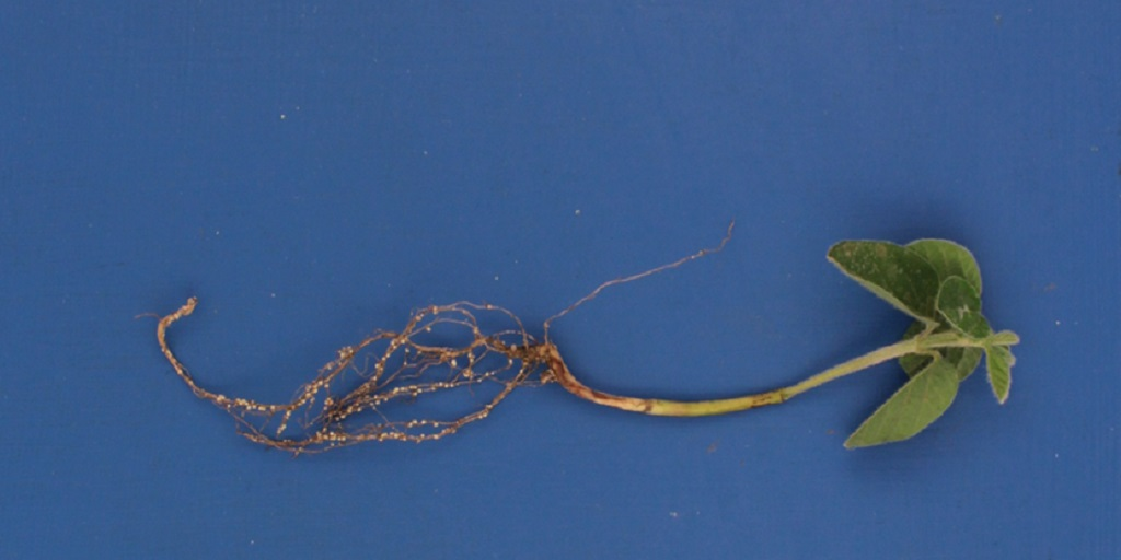 Adult SCN females on soybean roots.