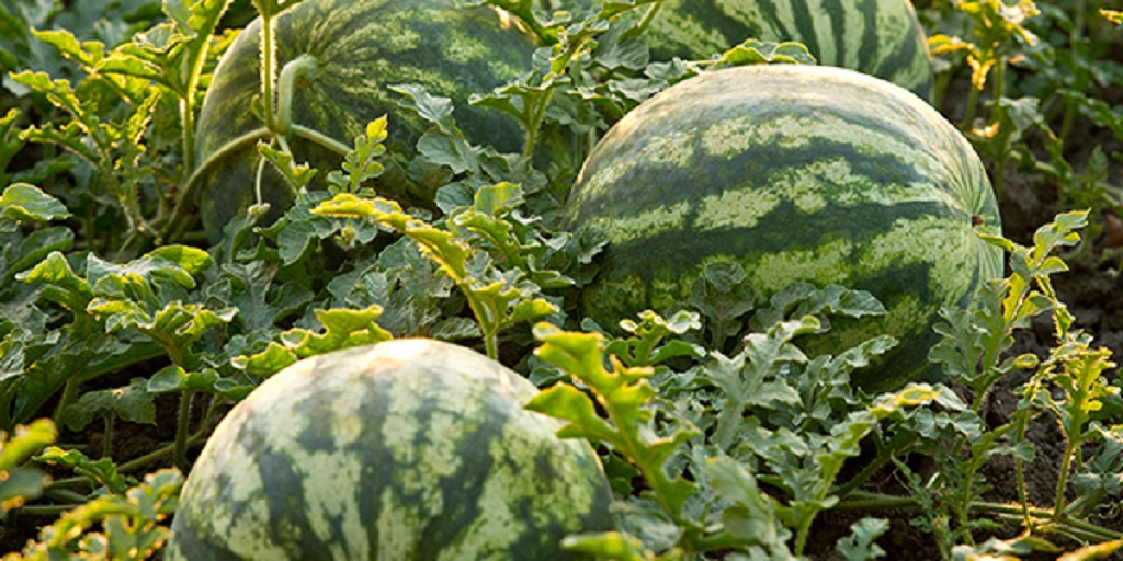 This agronomic image shows watermelon.
