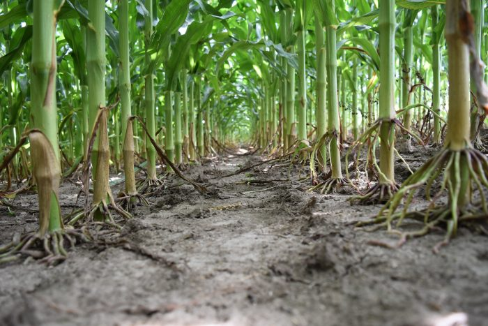 This agronomic image shows clean corn rows after using Acuron herbicide.