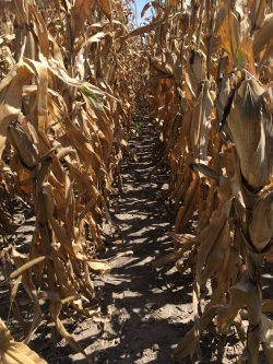 This agronomic image shows Clean rows at harvest.