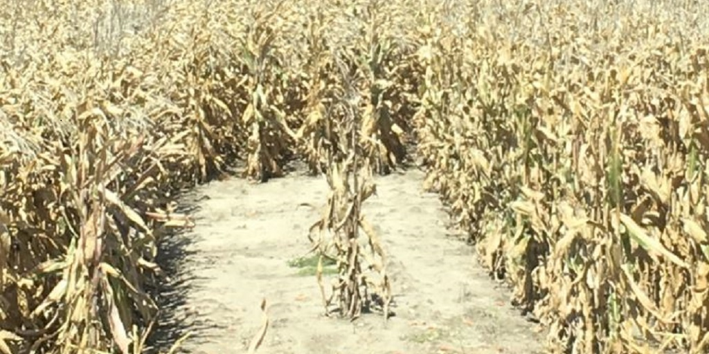 This agronomic image shows A patch of bare dirt resulting from a planter skip remained clean at harvest.