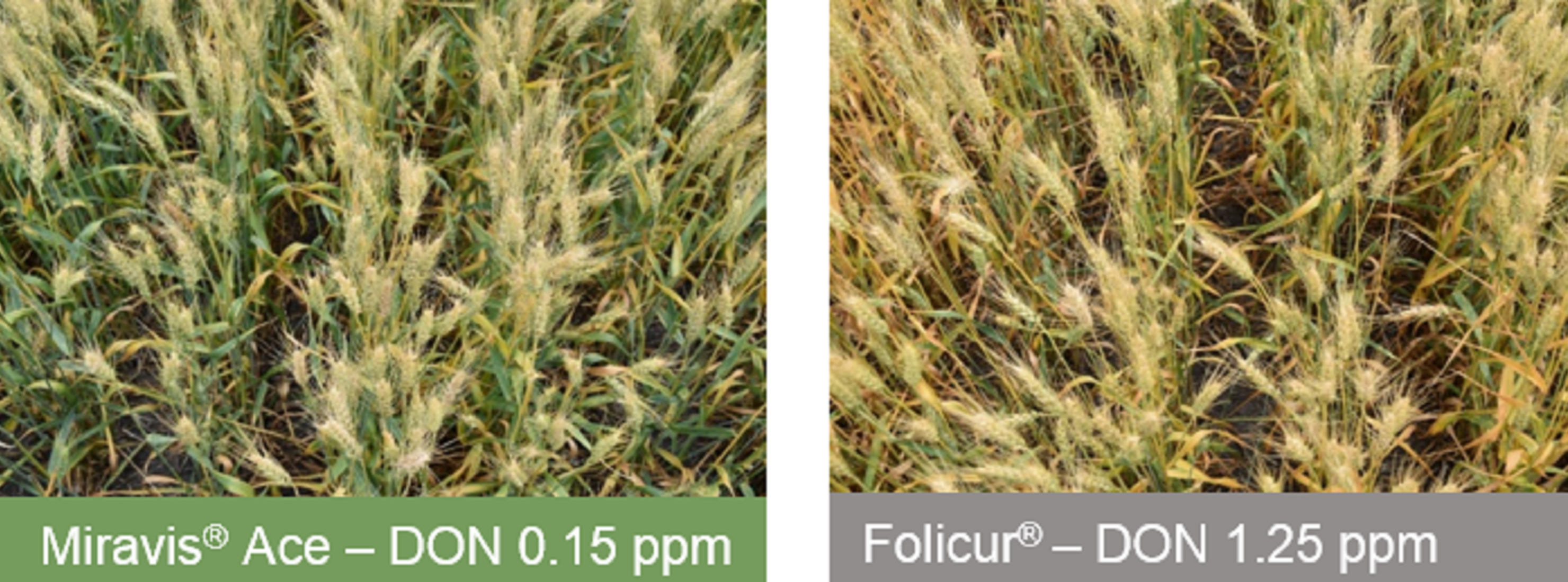 This agronomic image compares Miravis Ace and Folicur fungicide.