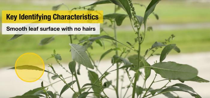 This agronomic image shows identifying characteristics of waterhemp.