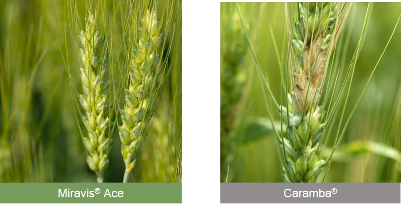 This agronomic image compares Miravis Ace and Caramba fungicides.
