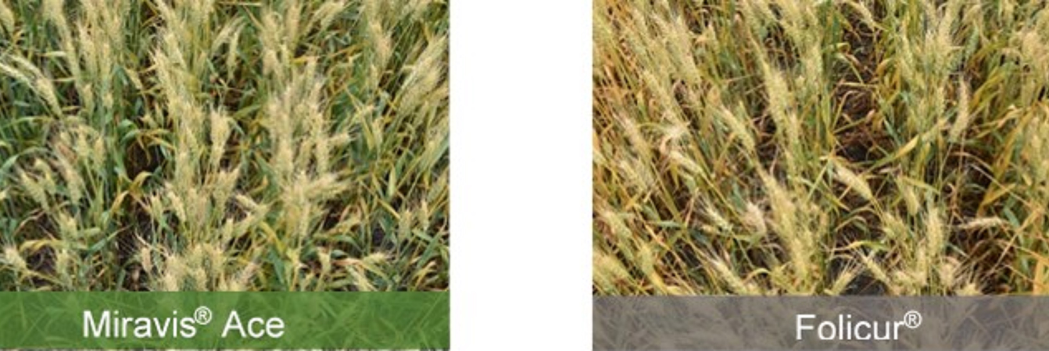 This agronomic image compares Miravis Ace fungicide to Folicur.