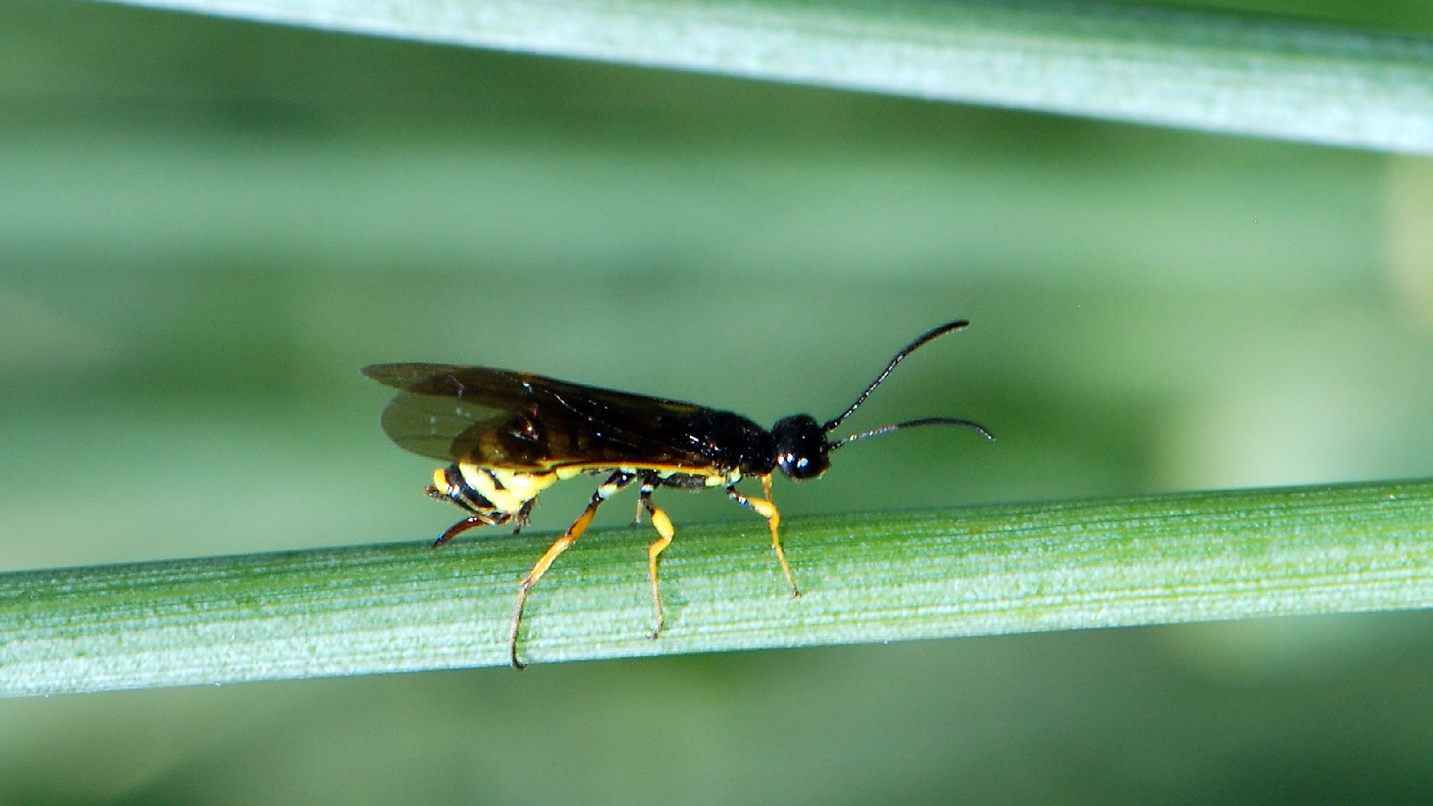 This agronomic image shows a sawfly.