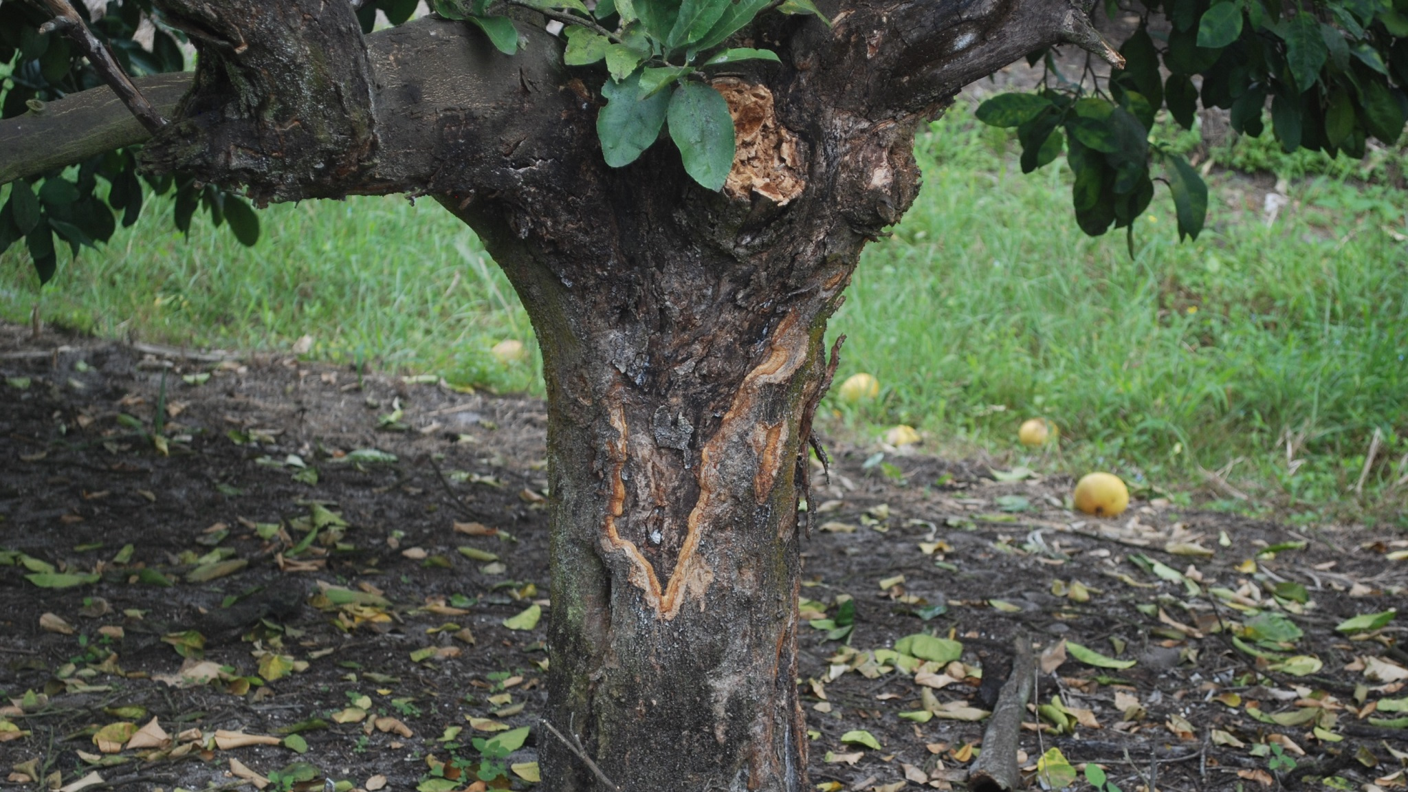 This agronomic image shows a citrus tree.