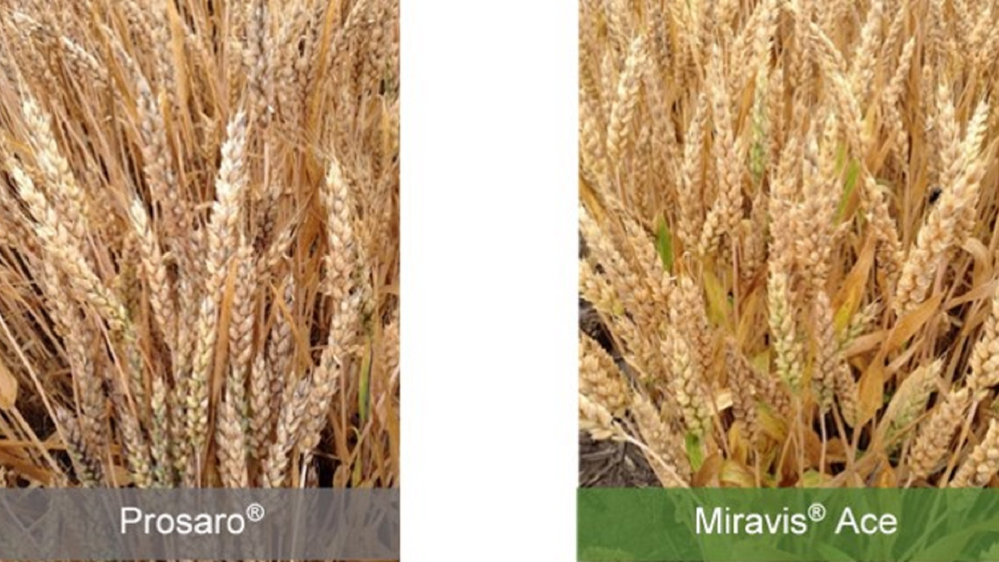This agronomic image compares Prosaro and Miravis Ace