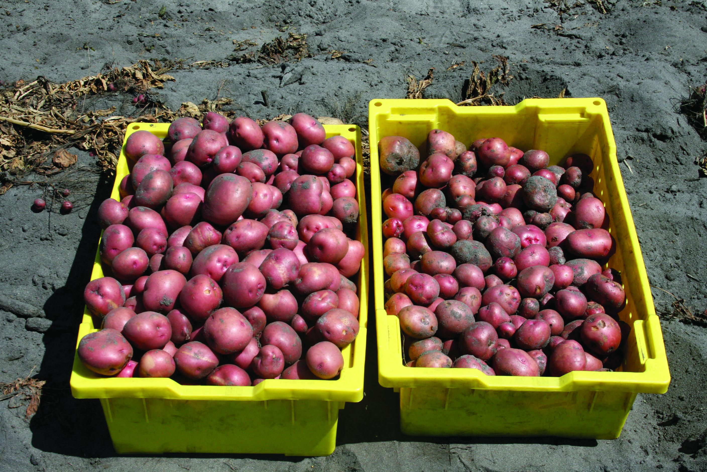 This agronomic image shows Elatus fungicide vs. inoculated potatoes