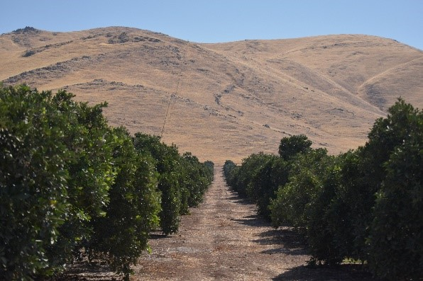 This agronomic image shows a citrus orchard.